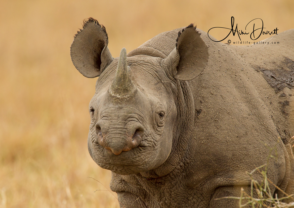 Black Rhinoceros Close Up