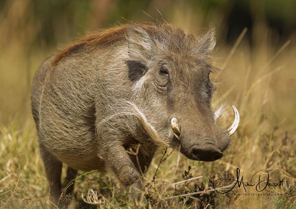 Male boar Warthog