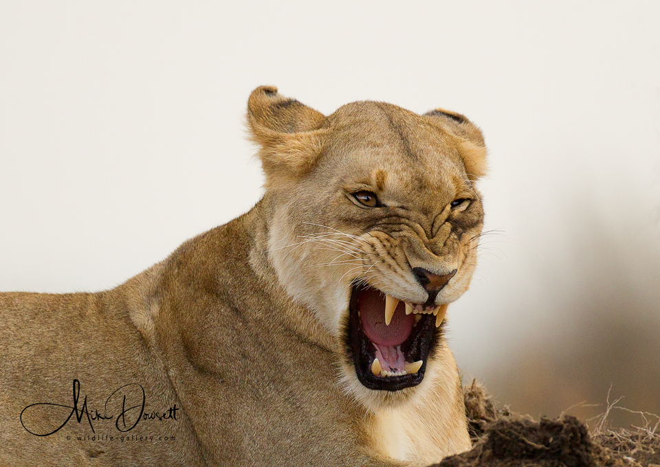 Angry Lioness Close Up