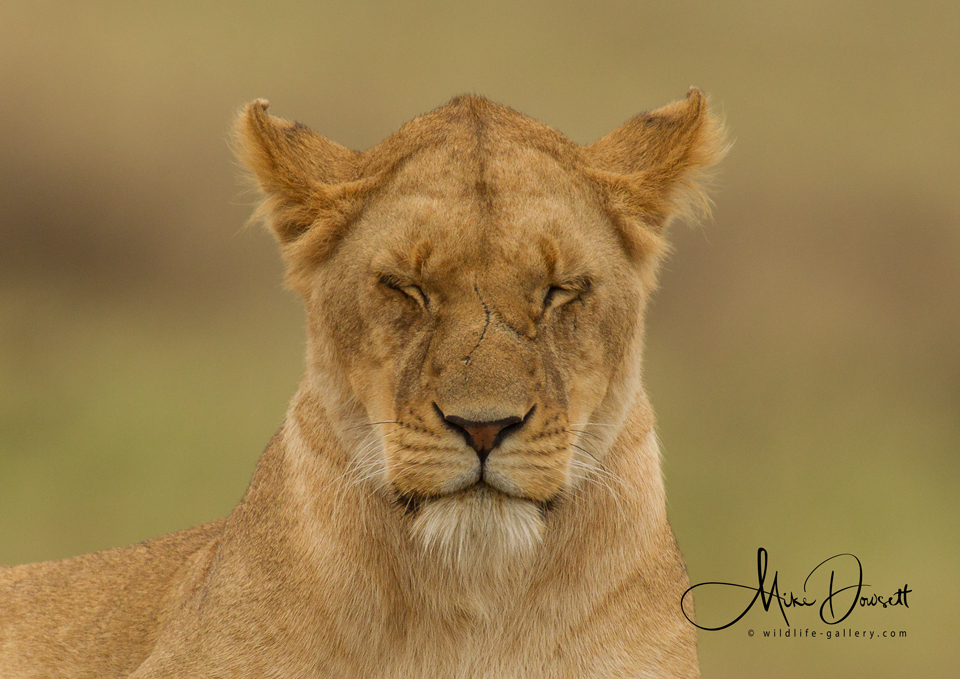 Lioness Eyes Closed, Close Up