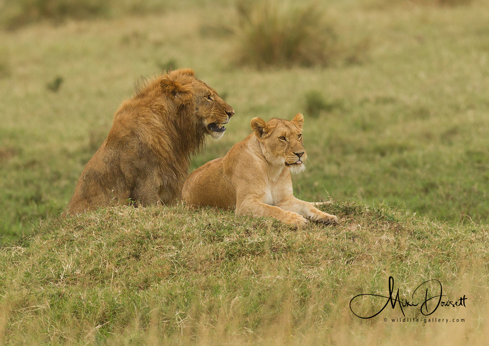 Pair of African Lions
