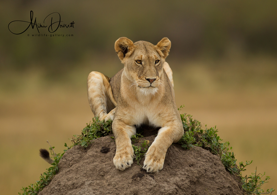 Lioness on a termite mound