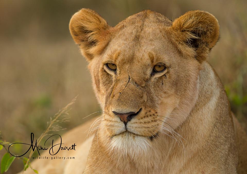 Lioness Close Up