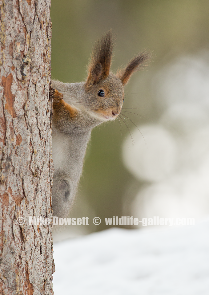 MCD14157w2-Arctic-Red-Squirrel.png