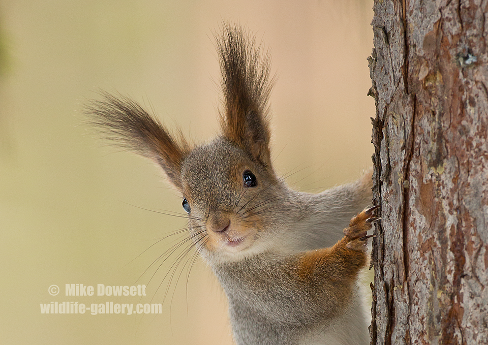Arctic Squirrel