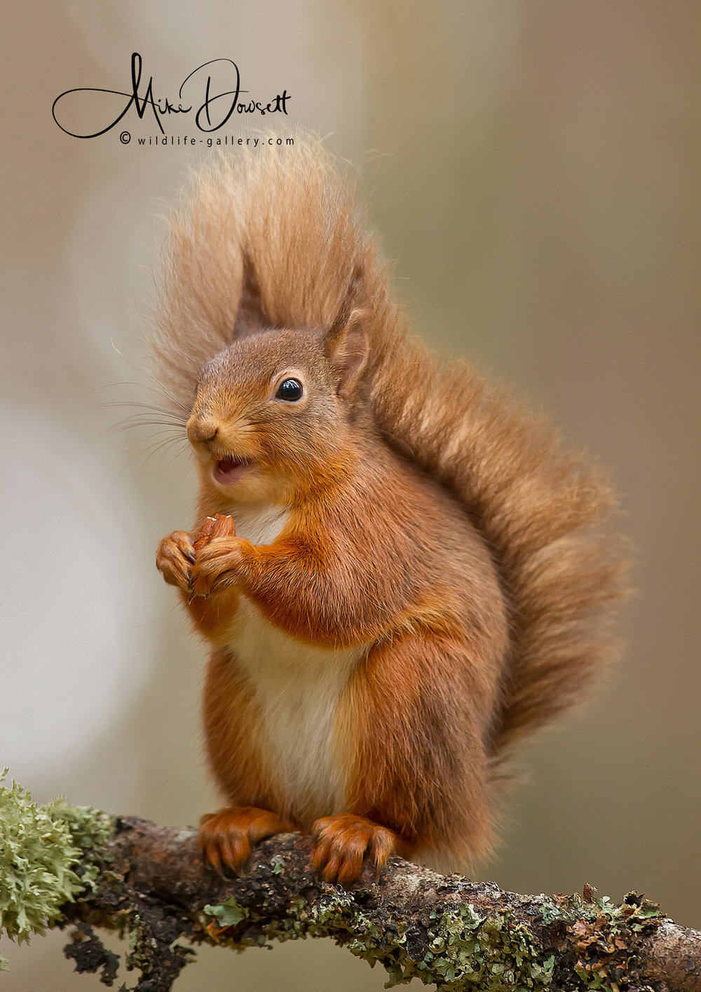 Laughing Red Squirrel
