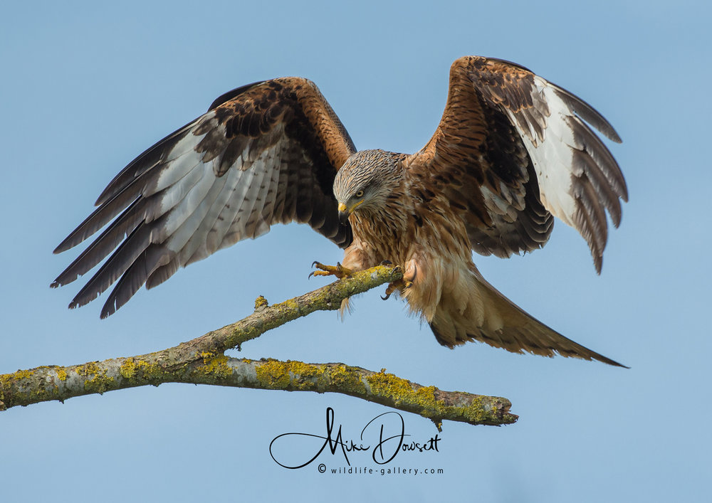 Red Kite Landing on a branch