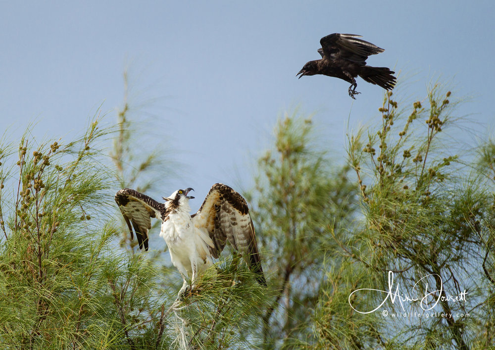 Osprey and Crow