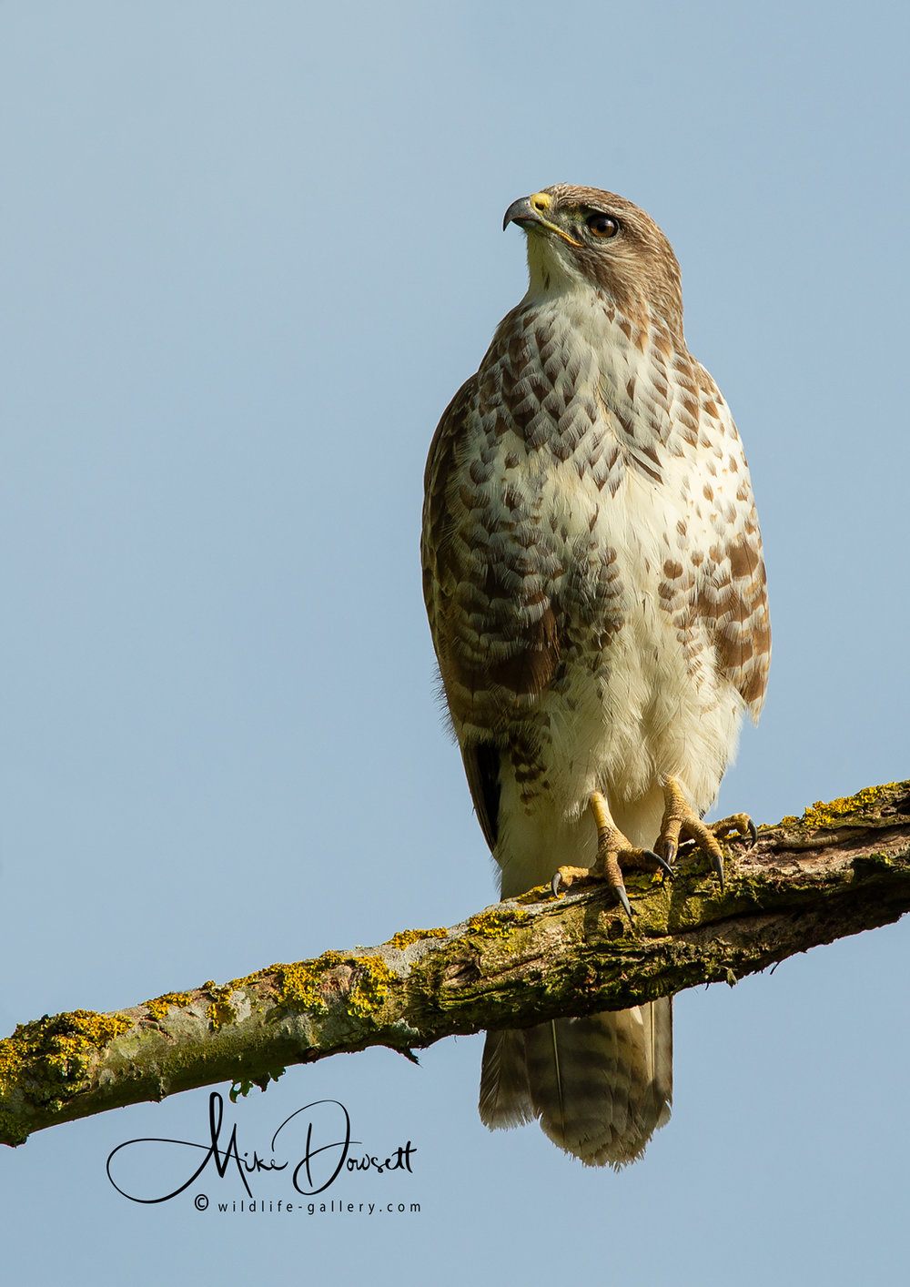 This beautiful Common Buzzard is King of the meadow and the surrounding areas.  No other bird or animal comes close to the strength and aggression of this raptor.