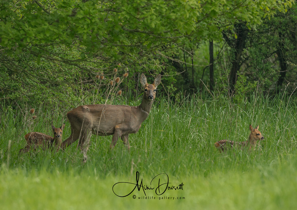 Roe Deer with Fawns