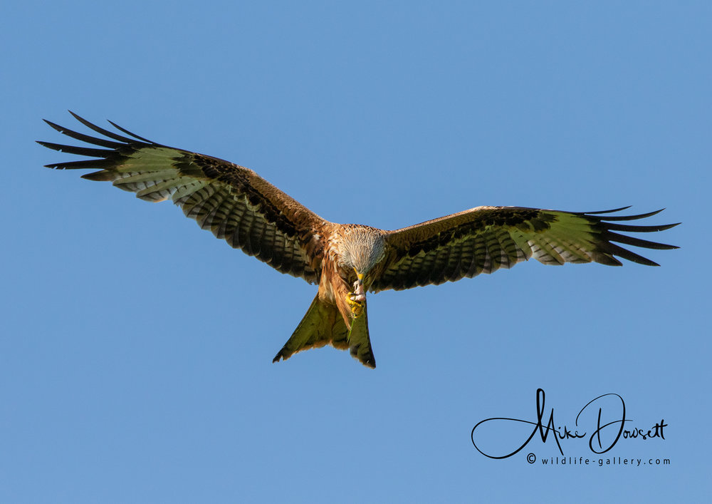 Red Kite eating on the wing