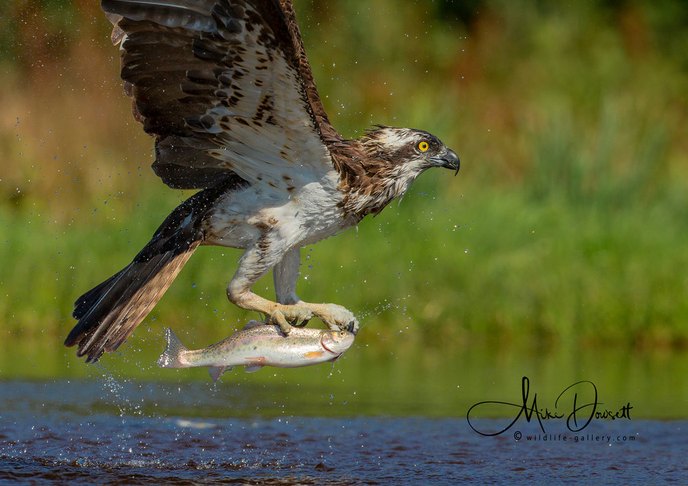 Osprey fishing