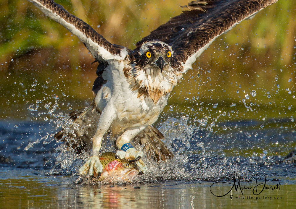 Close Up Osprey Action