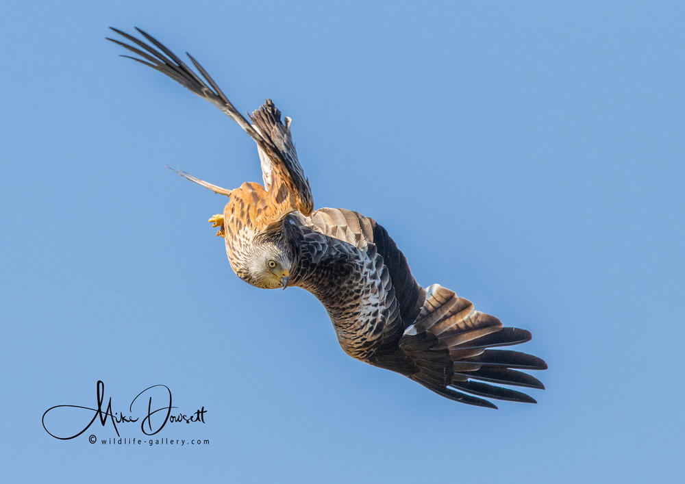 Red Kite Diving