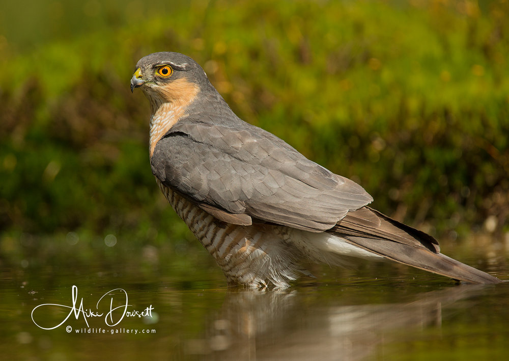Sparrowhawk Bathing