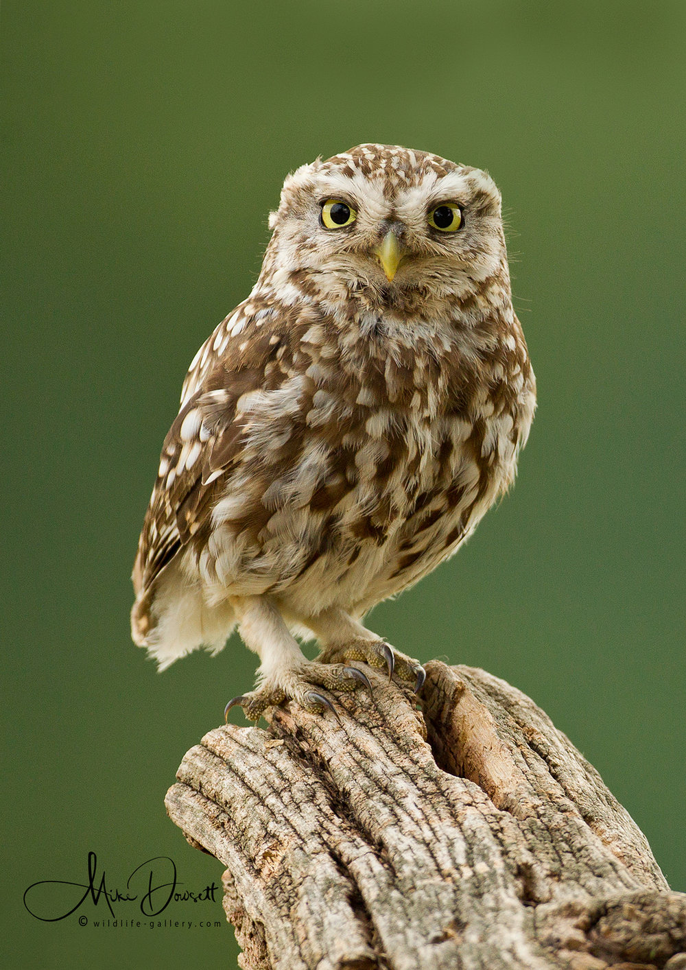 Little Owl Portrait