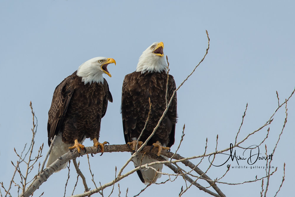 Pair of Bald Eagles calling