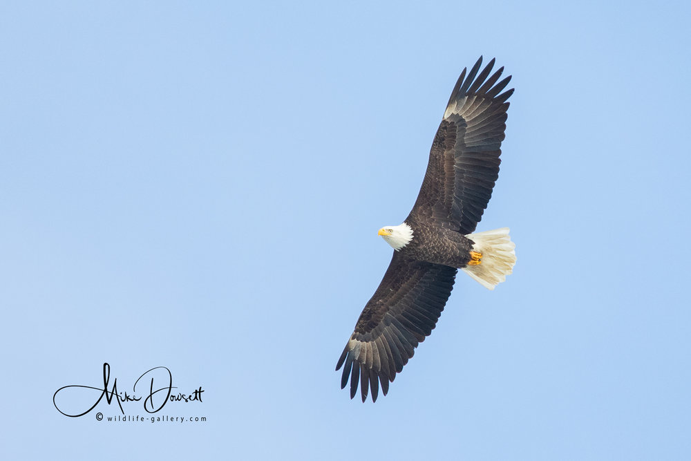 Bald Eagle in flight…