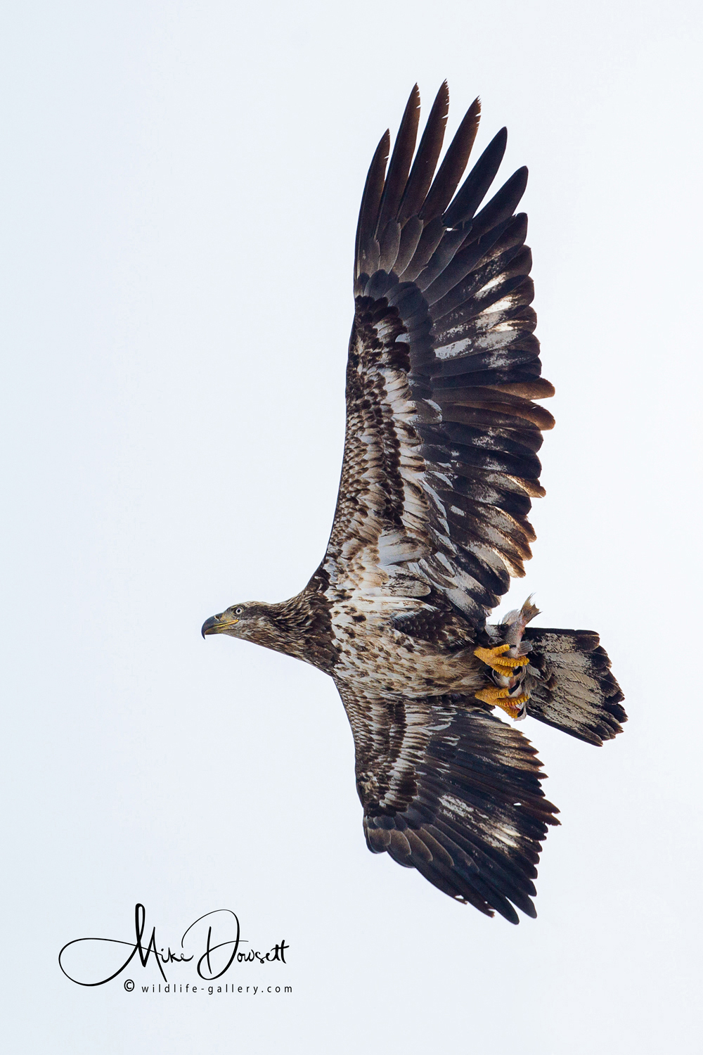Juvenile Bald Eagle with a fish…