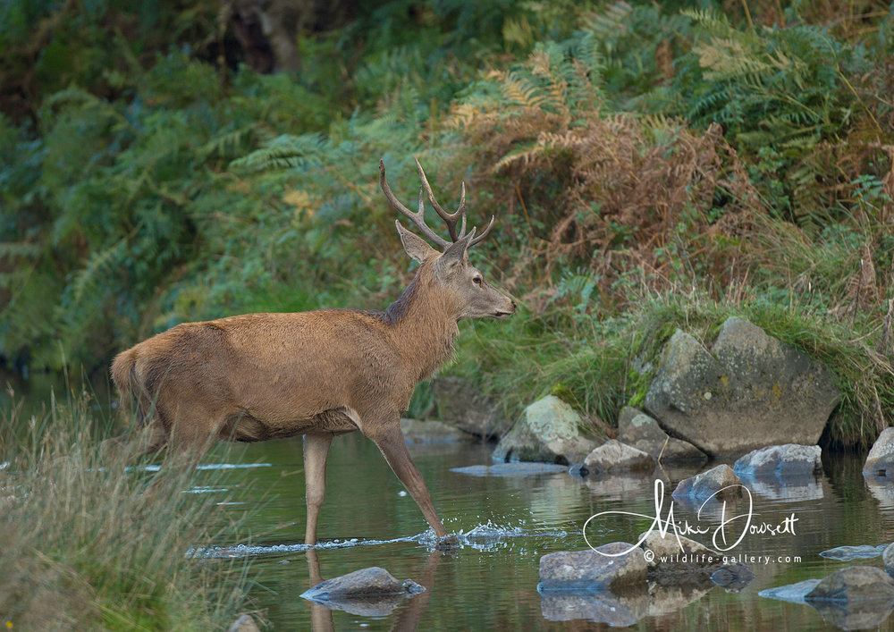 Red Deer Stag crossing a stream