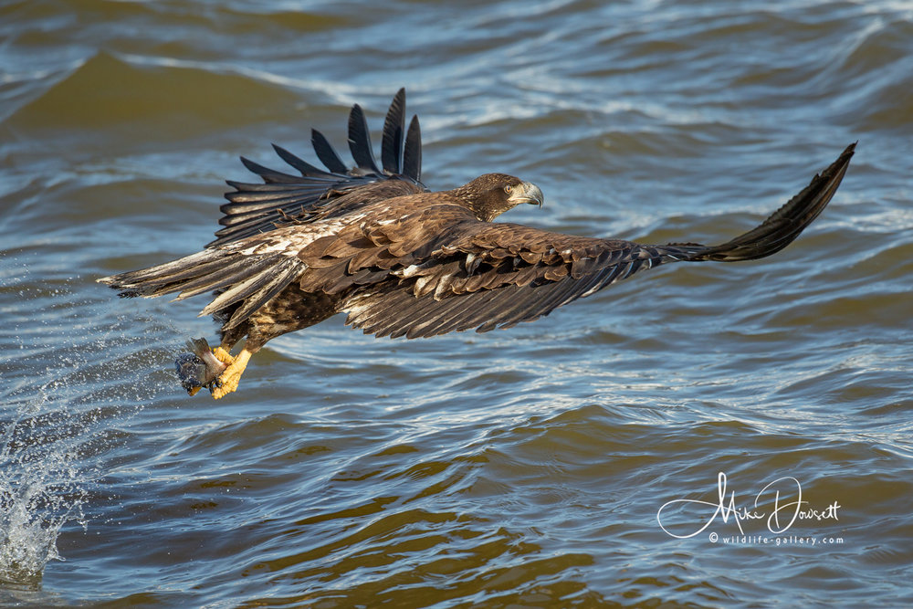 Juvenile Bald Eagle catching a fish
