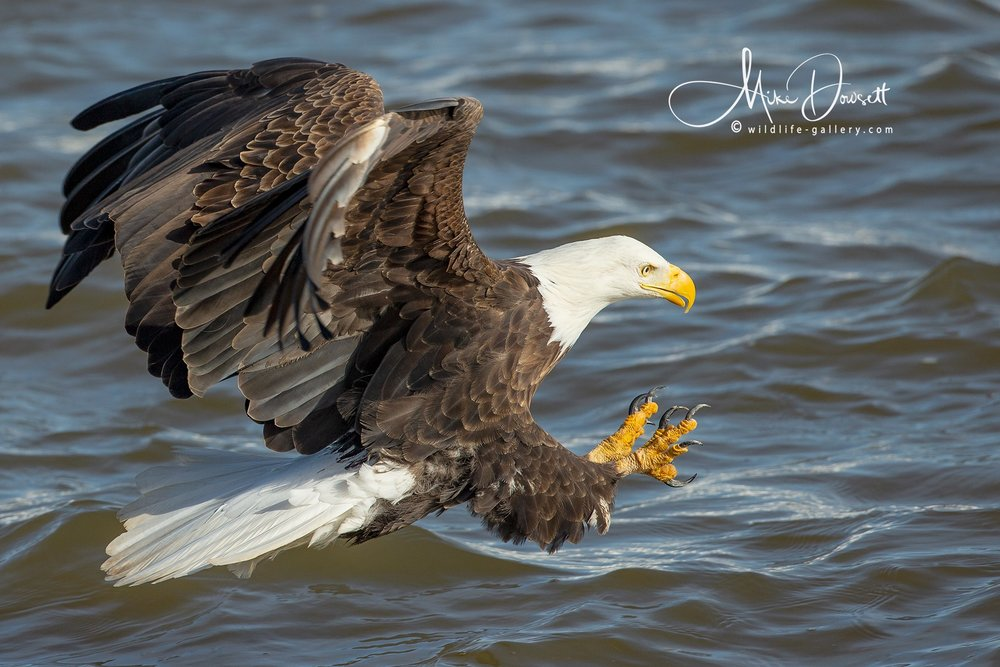 Bald Eagle action with the talons out at Lock and Dam No. 14