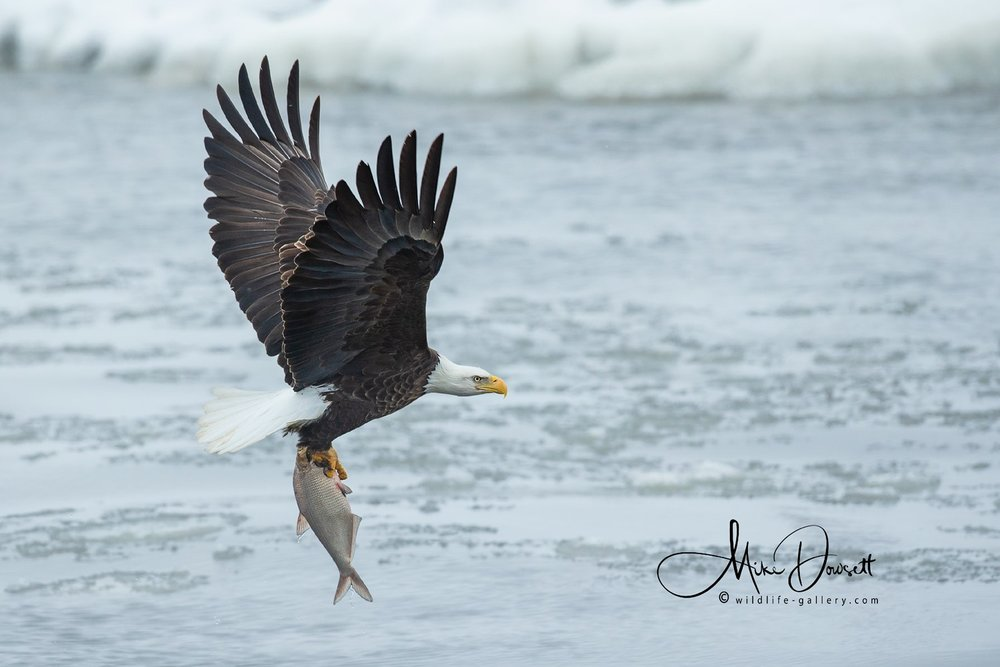 Bald Eagle with a large fish, caught during the quiet lunch hour at Lock and Dam #14