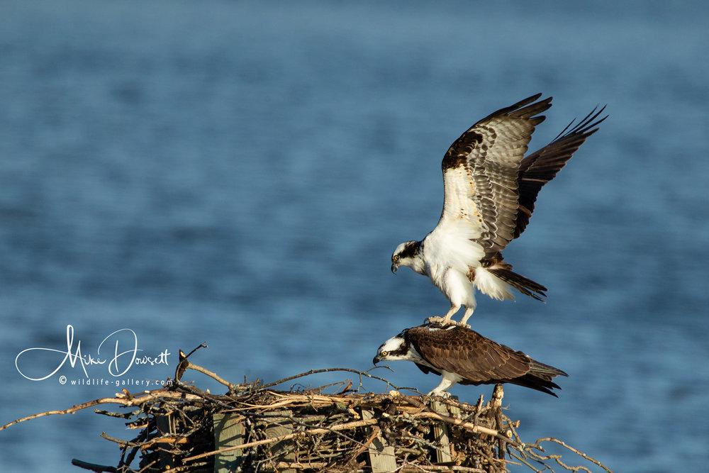 Pair of Osprey mating
