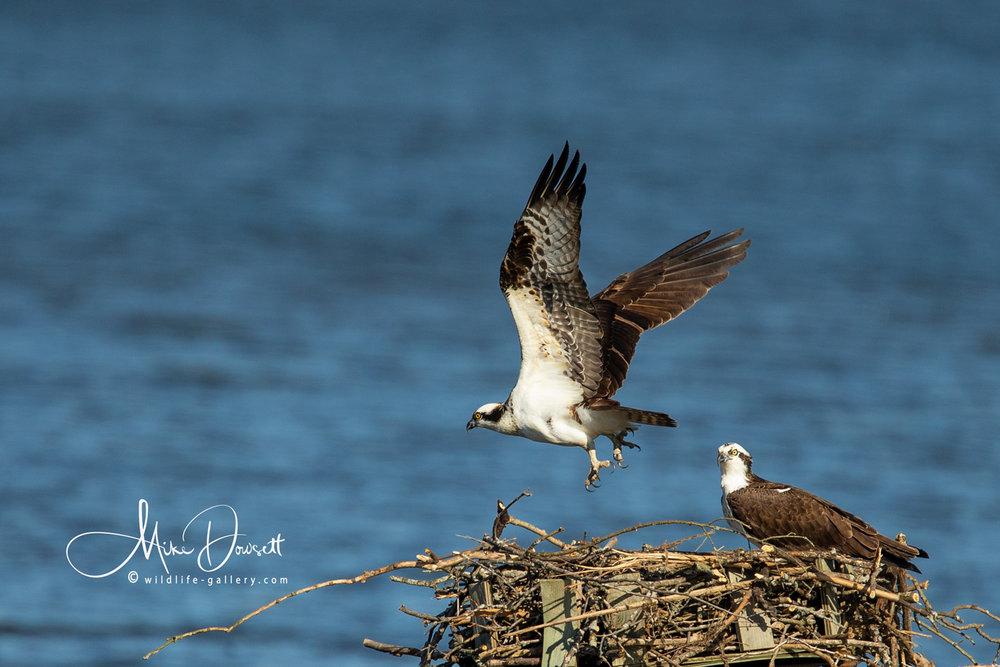 Pair of Osprey on their nest
