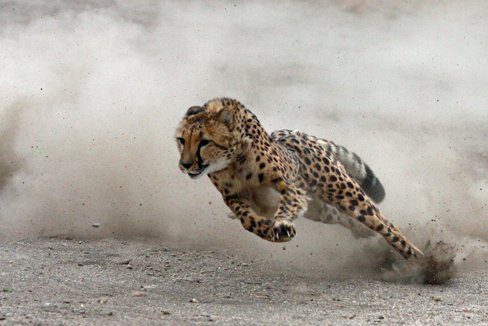Cheetah running fast while turning a corner in pursuit of prey.