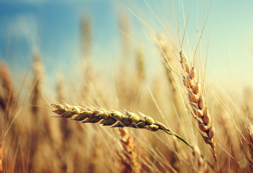 single head of wheat amidst a field of wheat that is out of focus