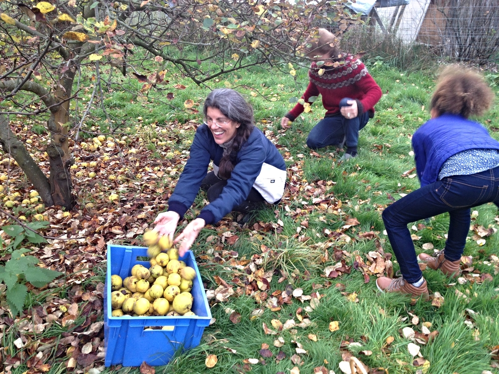 We helped Ana gather quinces from her garden which she uses to make marmalade