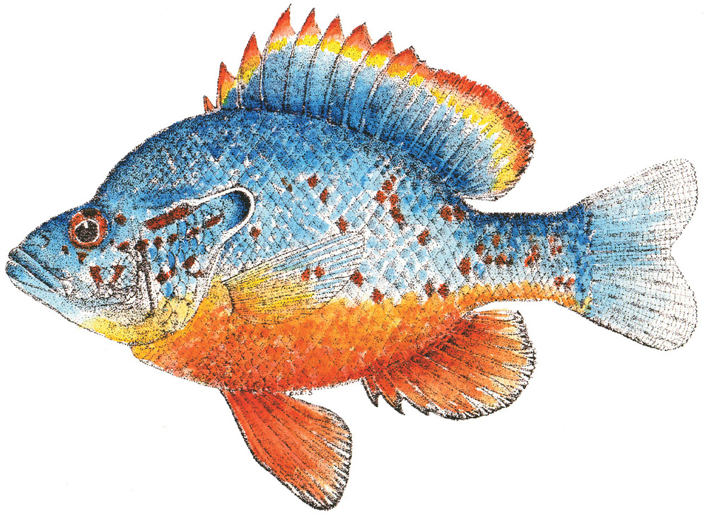 Sunfish_Color_12x9.jpg