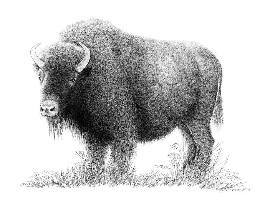 Bison 2016.jpg