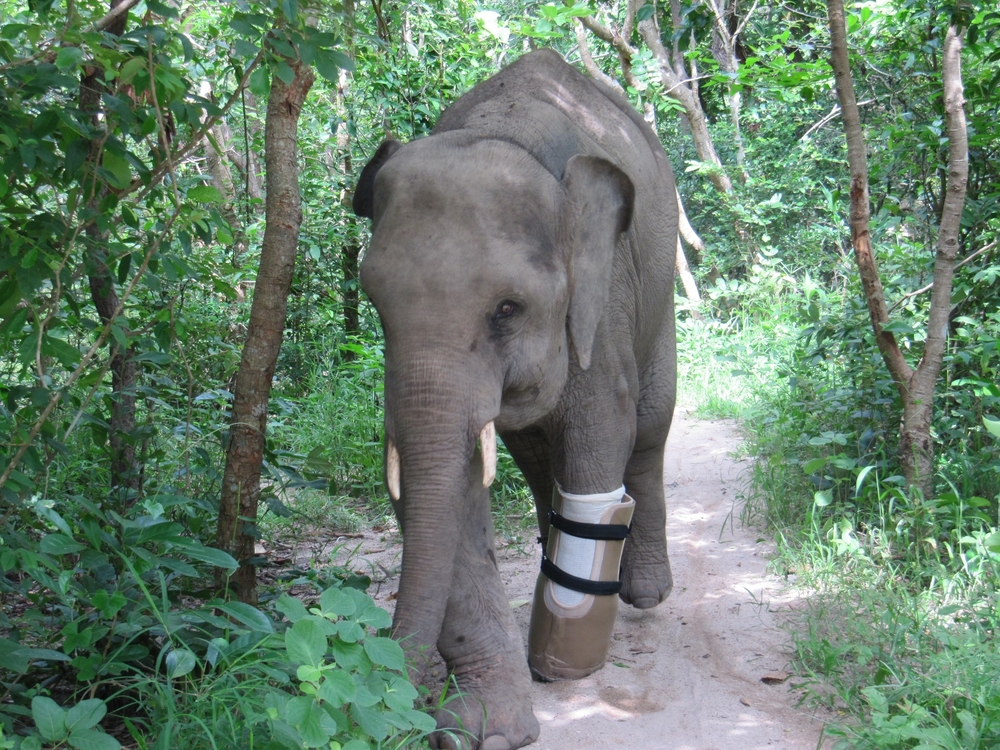 Meet Chhouk - the Elephant with a Prosthetic Foot