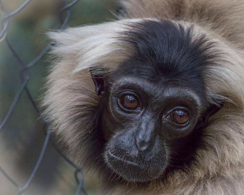 2015-08-14- CRW- Primates- Pileated Gibbon 1.jpg