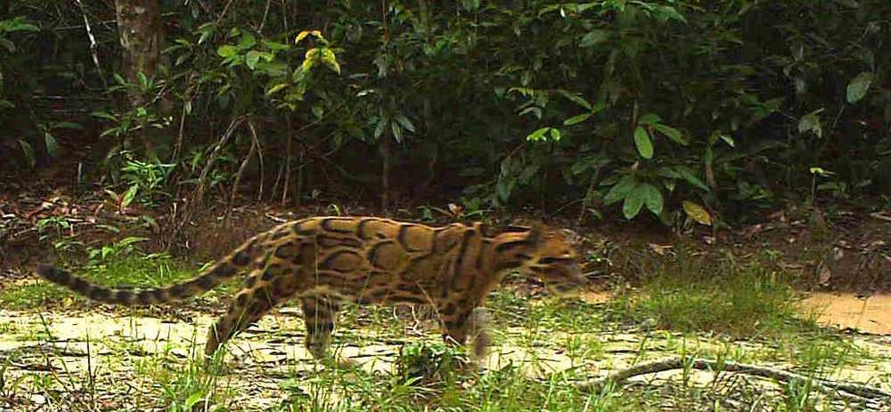 Clouded leopard caught on camera near wildlife release station