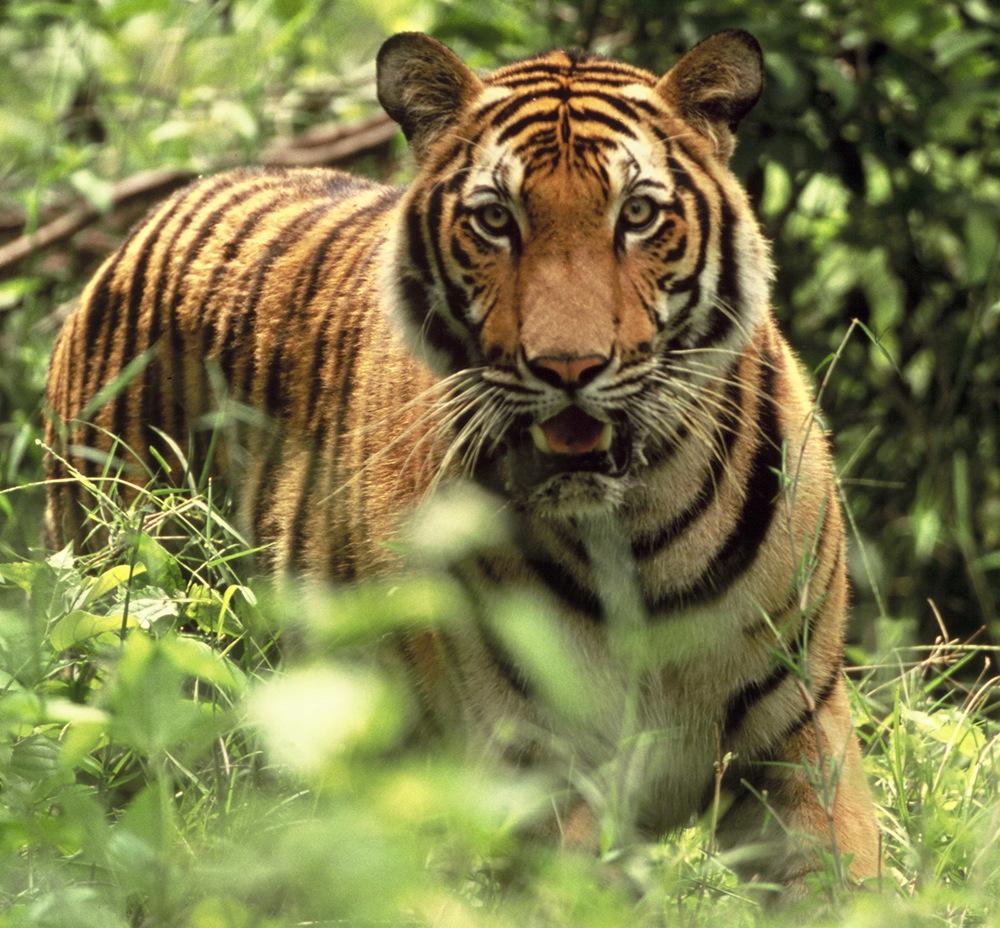 Save Tigers.jpg