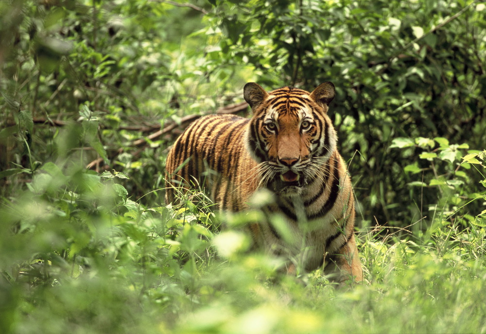 2006-11-15 - CRW - tiger standing.JPG