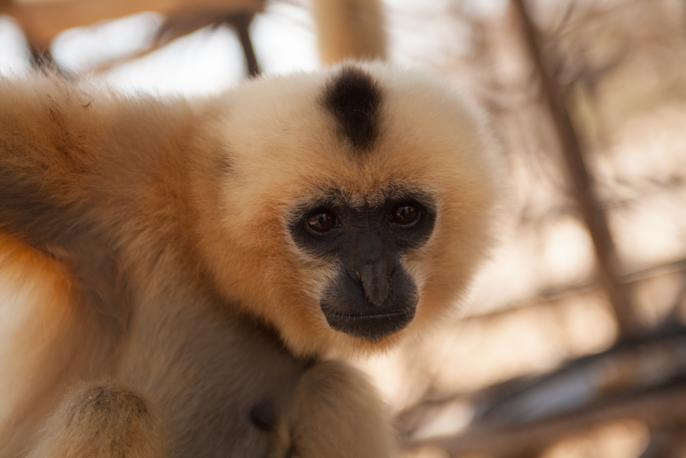 Rescued Yellow-Cheeked Gibbon at PTWRC