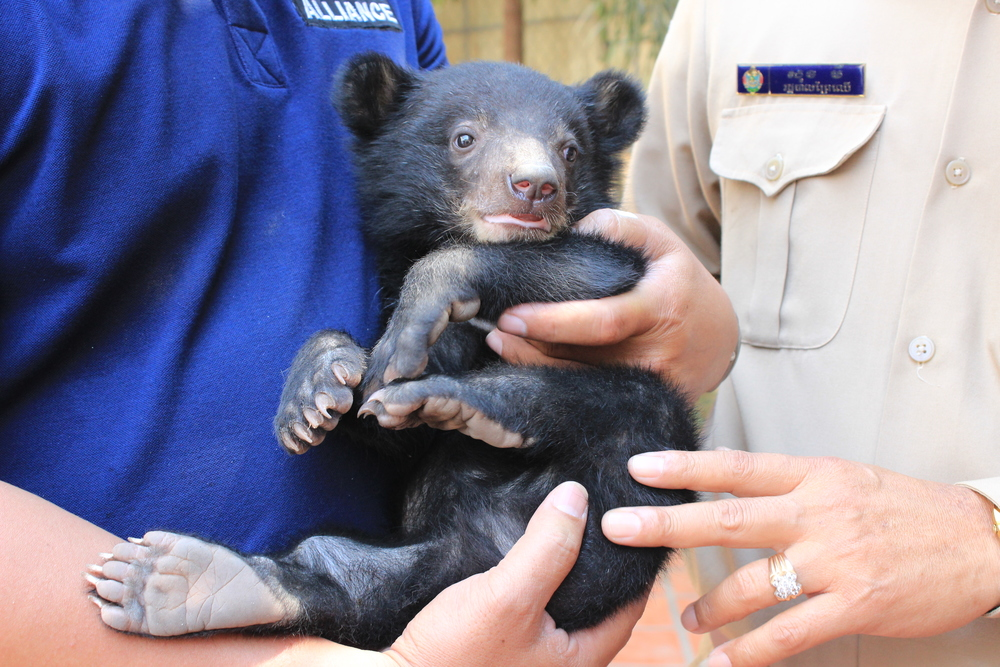 Wildlife Alliance rescued a baby sun bear from dinner plate