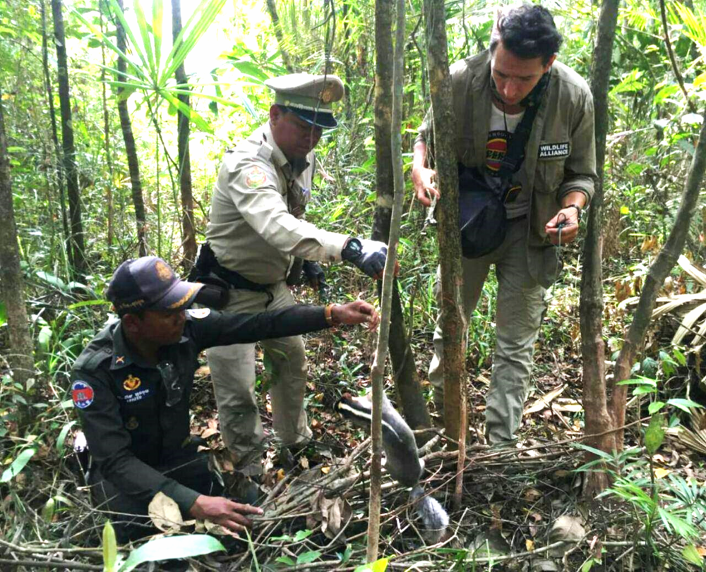 Rangers discovered dead civet trapped in snares