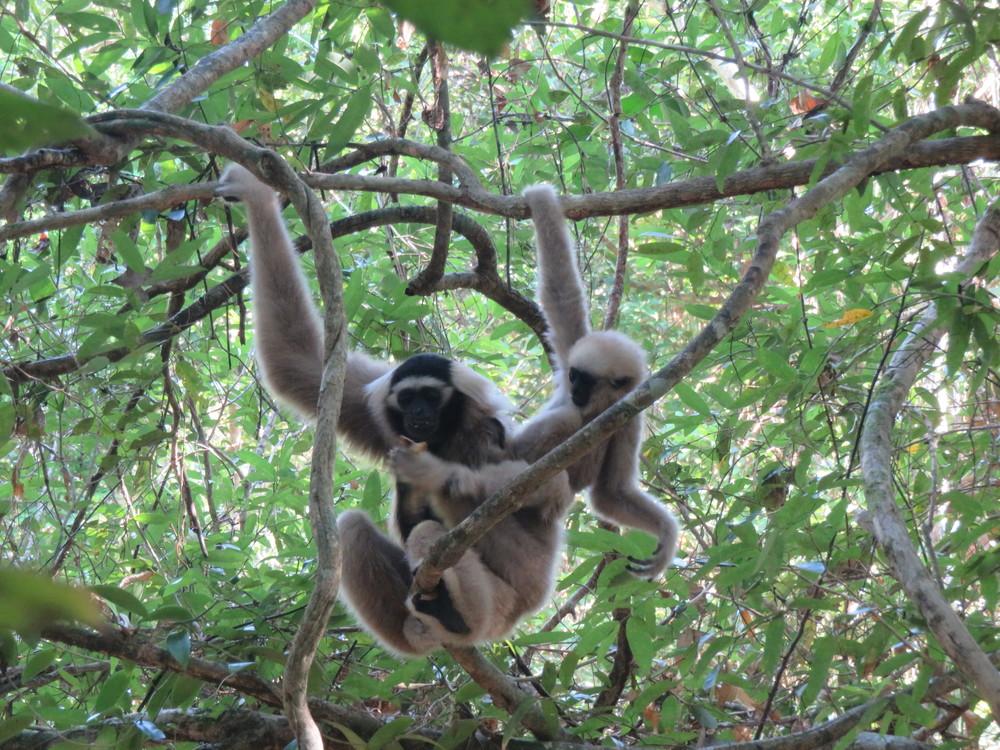 2015-11-02 - Angkor - gibbons baby - IMG_3590.JPG