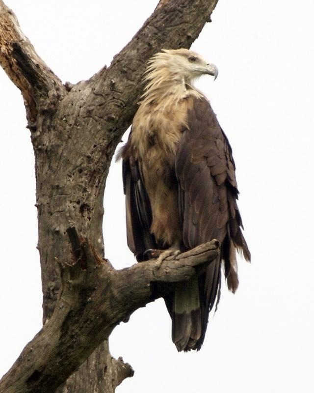 Phallas's fish eagle
