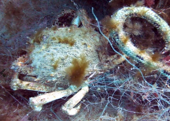 Spider crab entangled in fishing line.
