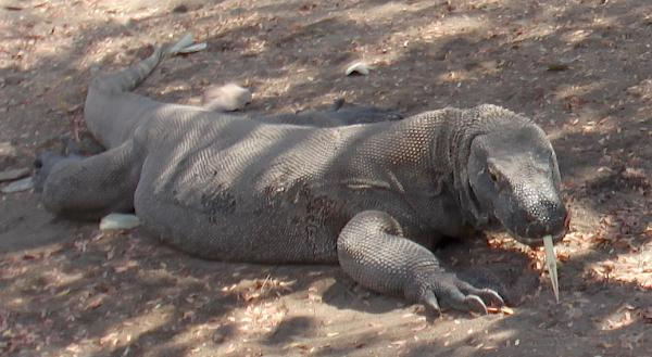 Komodo dragon photographed on Komodo Island. Photo by Pam Longobardi