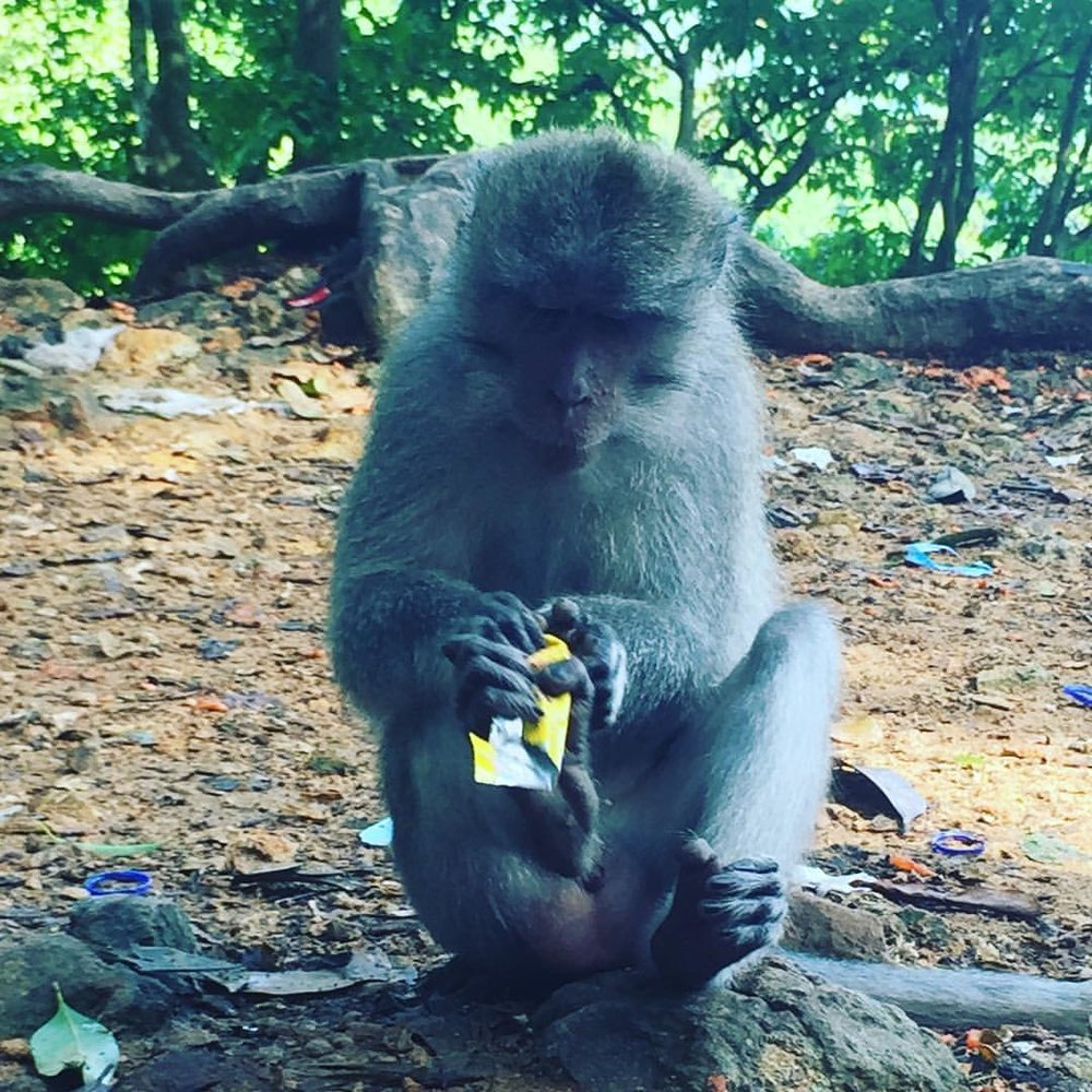 On the island of Lomback, a monkey plays with plastic food packaging. Photo by Dianna Cohen