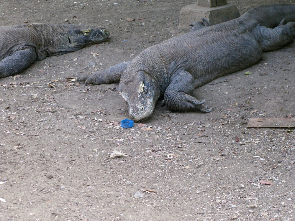 A Komodo Dragon investigates a plastic bottle cap. Photo by Dianna Cohen