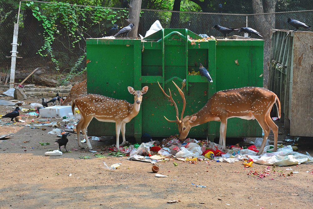 Two deer look for food in piles of garbage on the campus of an educational institute in Chennai, India. Photo by Sachchidanand Swami.