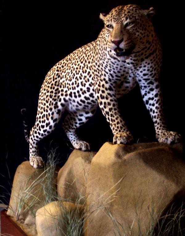 Tim's_Leopard.JPG